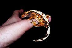 tricolor crested gecko - Google Search Cute Reptiles, Reptiles And Amphibians, Reptile Cage, Reptile Enclosure, Crested Gecko Habitat, Terrarium Reptile, Terrarium Ideas, Classroom Pets, Animals
