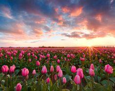 Amo los tulipanes