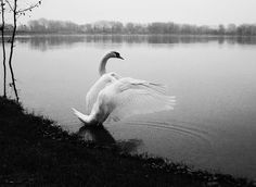 #photography #swan #blackandwhite #wings #nature #lake #animals #moments