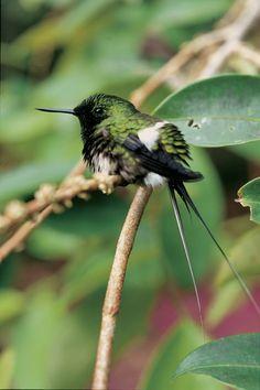 Colibrì del Centro e Sud America (Discosura langsdorffi). La famiglia comprende circa 320 specie, concentrate soprattutto nelle foreste tropicali dell'America Centrale e Meridionale. Sono i più piccoli uccelli esistenti lunghi tra 5 e 22 cm con un peso che va da 5 a 20 grammi. La livrea è multicolore dai riflessi metallici.