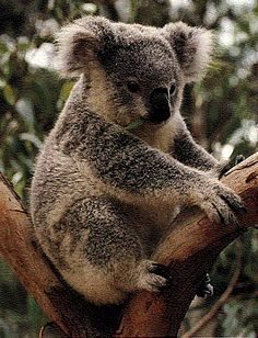 The Koala is uniquely Australian but is only found in isolated pockets of certain kinds of eucalypt forest in Eastern Australia.