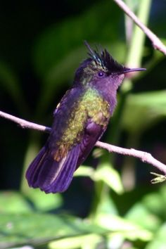 Humming:  This is an Antillean Crested Hummingbird.  The original image is found at Wikimedia Commons.