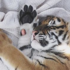 N A T U R E / #Tiger #animals #cute
