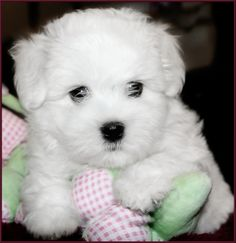 coton de tulear puppy. Just the cutest ever.