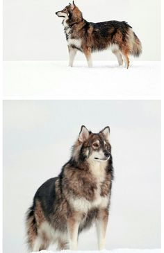 The Utonagon is a breed of dog that resembles a wolf, but in fact, is a mix of three breeds of domestic dogs: Alaskan Malamute, German Shepherd, and Siberian Husky. #dog #husky #animal