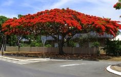 Lady in red After reading the title you are probably wondering who Poinciana is. Tropical Landscaping, Tropical Garden, Trees And Shrubs, Flowering Trees, Queensland Australia, Australia 2017, Brisbane Queensland, Brisbane River, Street Trees