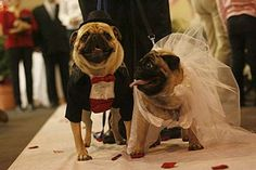 Two Pugs Tie the Knot In a Pet Store, Complete With Marriage Certificate #pets