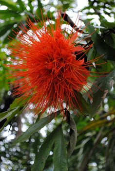 Enormous Brownea flowers and its golden stamens | Flickr - Photo Sharing!