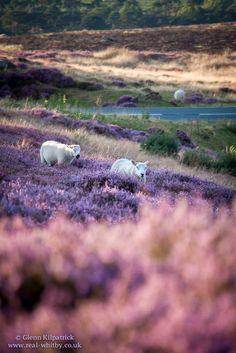 North York Moors National Park | Photographs | North Yorkshire Moors