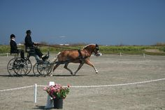 Drew Callahan driving Haflinger mare, Naria, in driven dressage at Duck Club CDE, July 2012 in Oxnard, CA.
