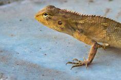 Garden lizard, outside the garden :)