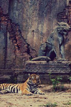 tiger #animals #photography