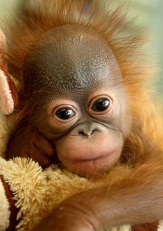 Raise (or I'll settle for snuggle with) a baby orangutan :)