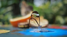 Funny pictures about A glasswing butterfly. Oh, and cool pics about A glasswing butterfly. Also, A glasswing butterfly photos. Glass Butterfly, Butterfly Wings, Butterfly Photos, Butterfly Wallpaper, Butterfly Kisses, Butterfly Design, Blue Butterfly, Glaucus Atlanticus, Dame Nature