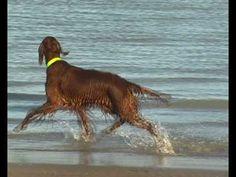 "Irish setter ""I love to boogie"" by Girly Red Dog, North Sea, Rainbow Bridge, Irish, Girly, Puppies, Pets, Newcastle, Fun Things"