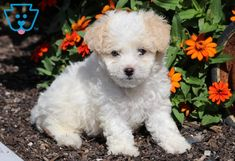 This very sweet & social Maltipoo puppy will be a great partner to go on adventures with! She is just cute as a button and her amazing personality Maltipoo Puppies For Sale, Cute Baby Animals, Cute Babies, Dog Lovers, Dogs, Doggies, Cutest Baby Animals, Cute Kids, Pet Dogs