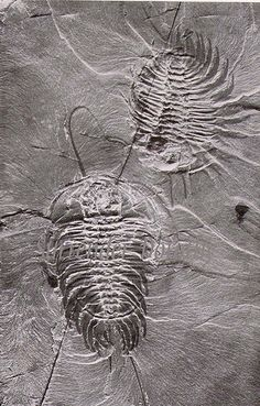 Trilobites Natural History Illustration 1905 #science