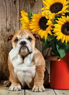 The Bulldog Dogs Jigsaw Puzzle Painting For Kids, Oil Painting On Canvas, Diy Painting, Bulldog Pics, English Bulldog Puppies, English Bulldogs, French Bulldog, Animals And Pets, Cute Animals