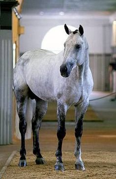 Hanoverian stallion Etrusco