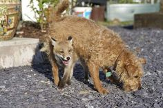 What The Fox and The Hound Looks Like in Real Life - an Adorable Rescue Story