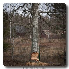 #lastnightinsweden  A beaver attacked a tree