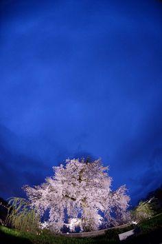 Kyoto, Japan 東京カメラ部 New:Kazuho Kurita #桜 #CherryBlossom
