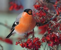tondra555 Bullfinch, Bird Pictures, Birds, Animals, Animaux, Bird, Animal, Animales, Animais