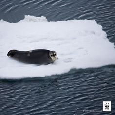 WWF #PicoftheWeek: A bearded seal sits on ice floe in the Arctic According to data released this week, Arctic sea ice shrank to the lowest winter extent ever recorded. The record-low ice level follows earlier news that 2014 was the warmest year since record keeping began. These are not records to be proud of. Read the article - http://pand.as/1EyD1Qe - and help us raise awareness.