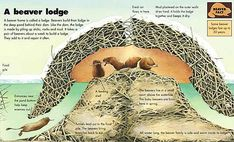 Section drawing of a beavers' dam. Beaver Lodge, Beaver Homes, Beaver Dam, Facts For Kids, Fun Facts, Castor Animal, Beaver Facts, Beaver Animal, Animals