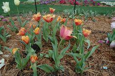 Lambada Fringed Tulip