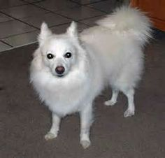 It is closely associated towards the white German Spitz. German Spitzes were ultimately brought to America, where the name changed to American Eskimo Dog due to the widespread anti-German feelings throughout World War I.