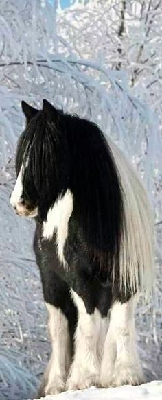 Winter Equine - Gypsy Vanner horse, magical horse photography, horse in snow covered field and white snow covered tree branches, enchanting!. Please also visit www.JustForYouPropheticArt.com for colorful inspirational Prophetic Art and stories. Thank you so much! Blessings!