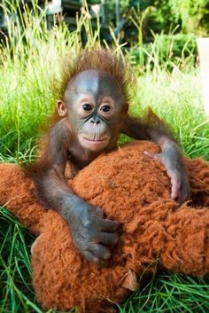 baby orangutan..reminds me of my little redheads.