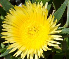 Hottentotvijg in onze tuin #geel