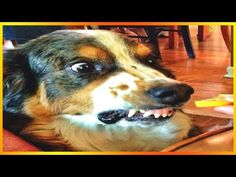 Top 5 Funny Dog Videos! #2 -  #dogs #funnydogs #puppy #doglover #animals #pet #cute #pets #animales #tagsforlikes Stop Your Dog's Behavior Problems! Click HERE to learn how! JOIN THE FUZZIES! NEW VIDS FRIDAYS @ 6ET!! LIKE, COMMENT & SHARE!!! ******************************************* TWITTER:  FACEBOOK:... - #Dogs