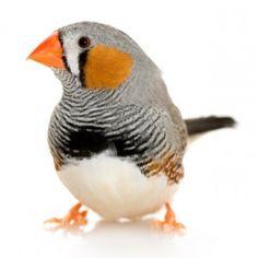 Zebra Finch Personality, Food & Care - Pet Birds by Lafeber Co.
