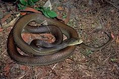 Taipan The Coastal Taipan native to the coastal regions of northern and eastern Australia and the island of New Guinea.