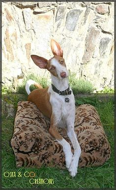 Podenco Ibicenco .  Oska & Co Creations.
