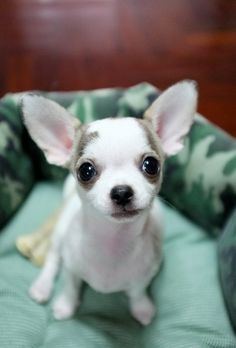 Chihuahua-13 by perawus, via Flickr. Looks like a Margaret Keane.