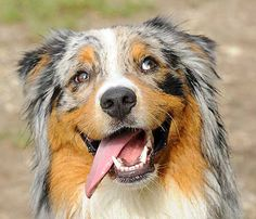 The Aussie Weekly #112 — The Weekly Special Feature for Australian Shepherd Lovers — Photo: Paolo Marelli, Aussie: Haki