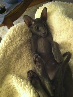 Baby Blue Oriental Shorthair Puppies And Kitties, Cats And Kittens, Beautiful Cats, Animals Beautiful, Russian Cat, Oriental Shorthair Cats, Ugly Cat, Oriental Cat, Domestic Cat