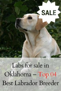 Are you looking for Labs for sale in Oklahoma? We have made a précised list of all locations offering Labradors for... #labradorite #labradors #labradorsofinstagram #Labradoroftheday Labs For Sale, Labrador Puppies For Sale, Labrador Breeders, Labrador Retriever, Labradors, Oklahoma, Dogs, Animals, Instagram