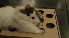 Faça você mesmo – O Melhor brinquedo para gatos (caixa de pizza!) | SOS Solteiros