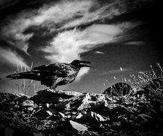 Raven Print, Bird Photography, Crows, Nature Photo, Gothic Art