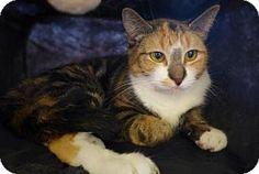 Westampton, NJ - Calico. Meet C-62632 Elle (Petvalu), a kitten for adoption. http://www.adoptapet.com/pet/12506503-westampton-new-jersey-kitten