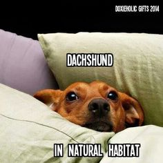 Doxie Humor: Dachshund in Natural Habitat Dachshund Breed, Dachshund Funny, Long Haired Dachshund, Dachshund Love, Funny Dogs, Daschund, Dapple Dachshund, Cute Puppies, Cute Dogs