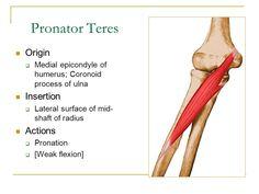pronator teres origin and insertion - Google Search