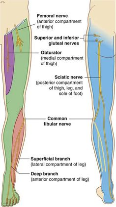 Leg Muscles Anatomy, Muscular System Anatomy, Nerve Anatomy, Muscle Anatomy, Body Anatomy, Lower Limb Muscles, Bones And Muscles, Nerves In Leg, Nerves Of The Body