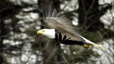 02/25/2011 - Bald eagles are falling from the sky dead of starvation, wildlife experts in western Canada say.  Eagles that depend on late fall salmon runs to provide enough fat to get them through the winter are starving on account of poor runs last year, Maj Birch, manager of a bird rescue facility, told the ...