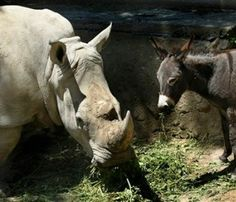 A donkey companion is being credited with calming the nerves of Manuela, a rhino at the Tbilisi Zoo in the country of Georgia.